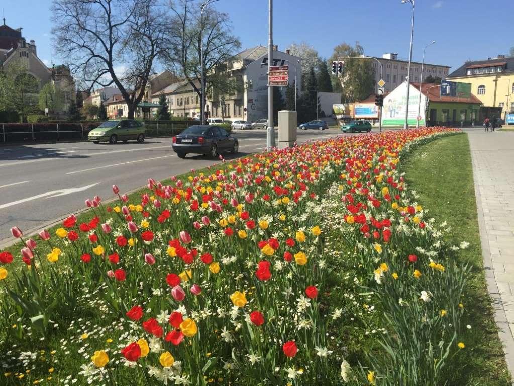 Flower-bulbs-Prostějov-Czech-republic