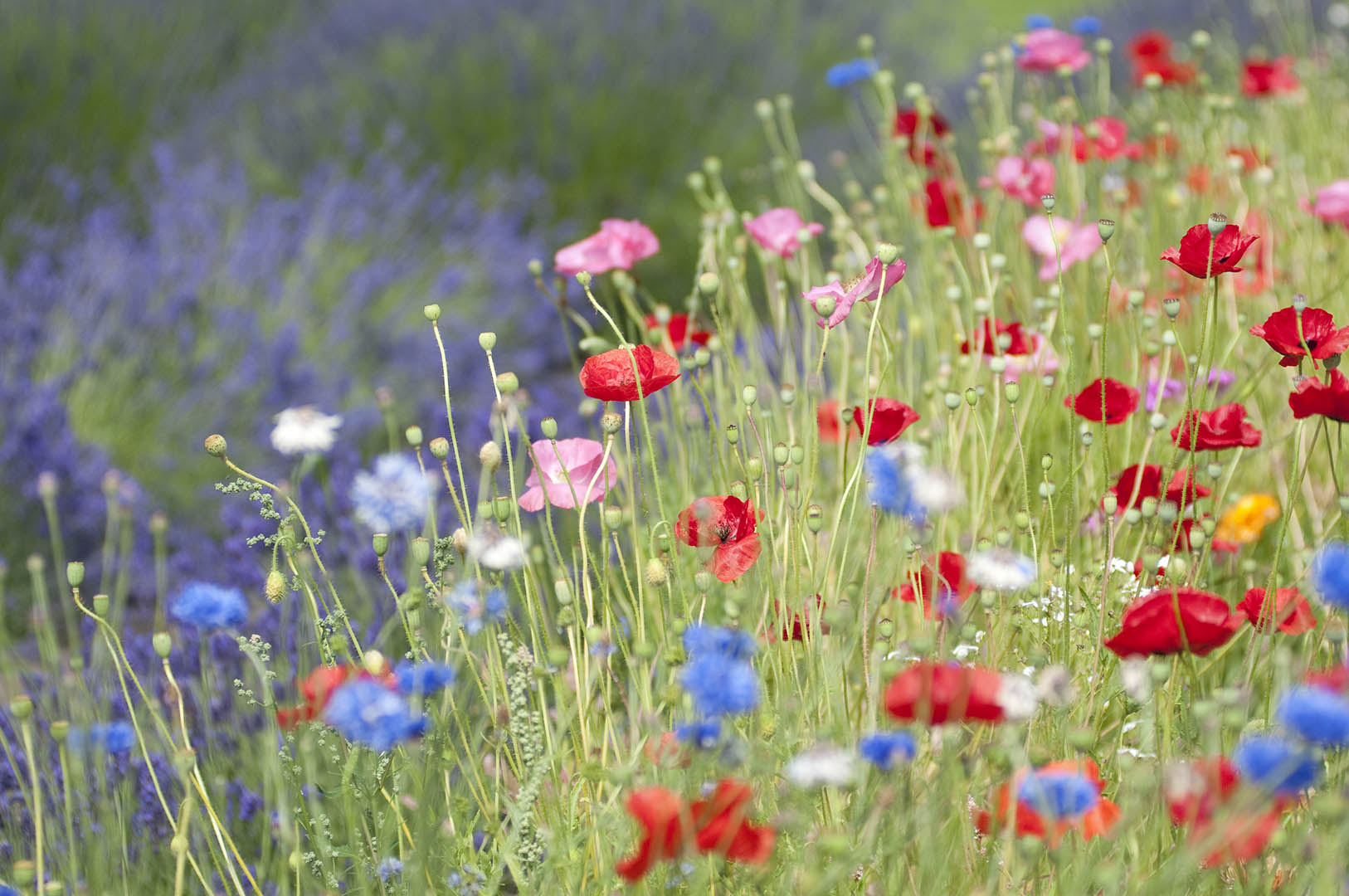 Mixed poppies near field of lavender in summer