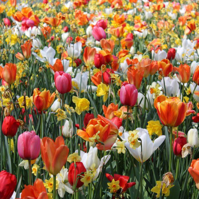 Flower-Your-Place-Anna- Narcyz- Tulipa