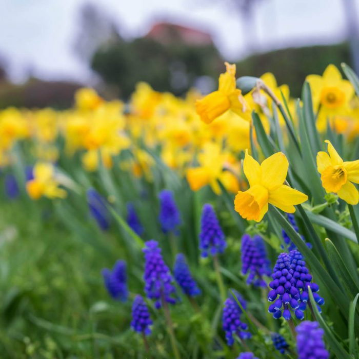 Flower-Your-Place-Isa- Muscari- Narcissus
