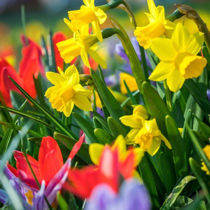 Flower-Your-Place-Quin- Crocus- Narcissus