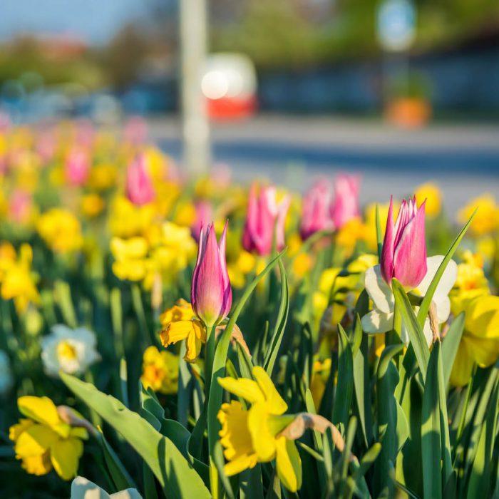Flower-Your-Place-Spring-Beauty- Crocus- Tulipa