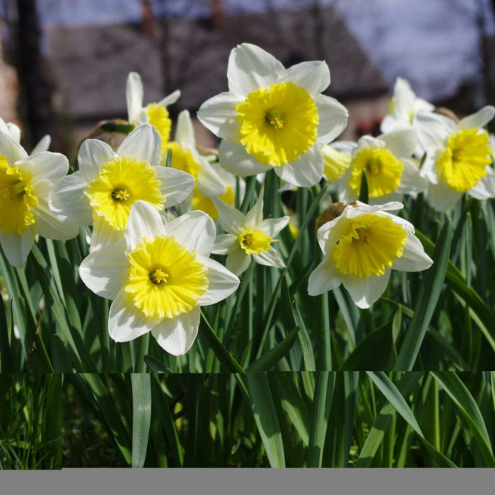 Flower-Your-Place-Sunrise-White- Narcissus